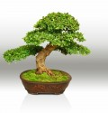 Bonsai Society of Southwest Florida